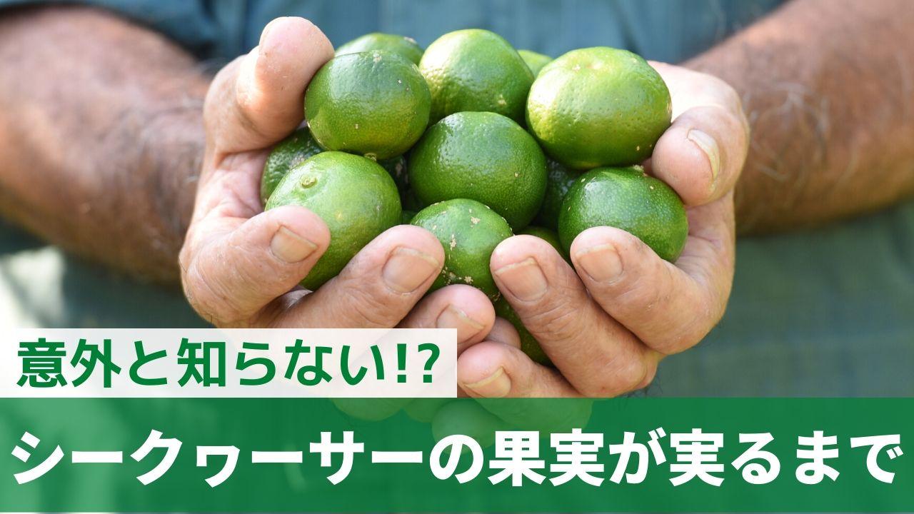シークヮーサーの果実が実るまで【8月更新】